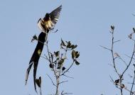 Paradise-whydah – br. male