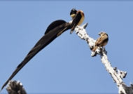 Paradise-whydah couple