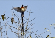 Paradise-whydah seducing f.