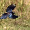 Meves's Starling