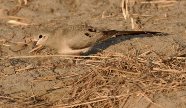 Namaqua Dove – female