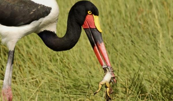 Saddle-billed Stork f. & a frog