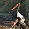 saddle-billed storks-cple-f.(up)