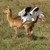 Saddle-b. Stork f. & Puku f.