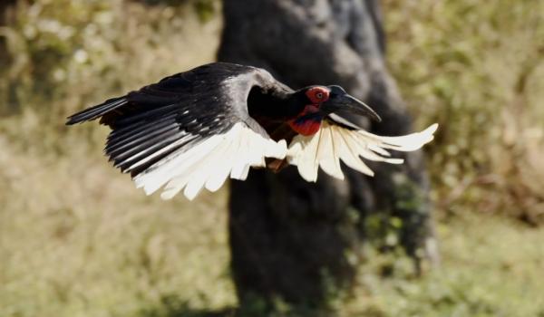 Southern Ground Hornbill – f.