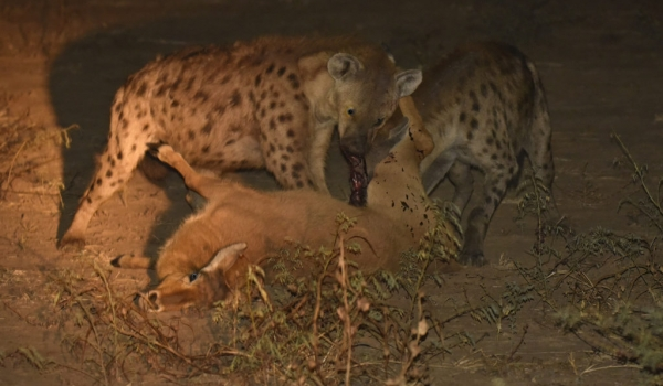 for the Spotted Hyenas…