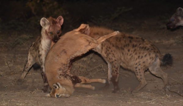 to steal & move the prey…