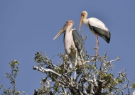 Marabou & Yellow-b. Storks