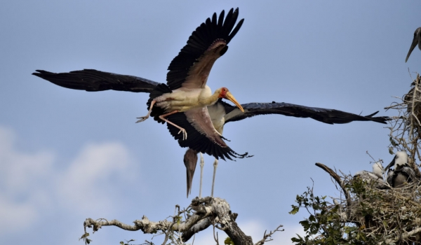 Yellow-billed Stork show