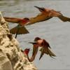 nest in colonies….
