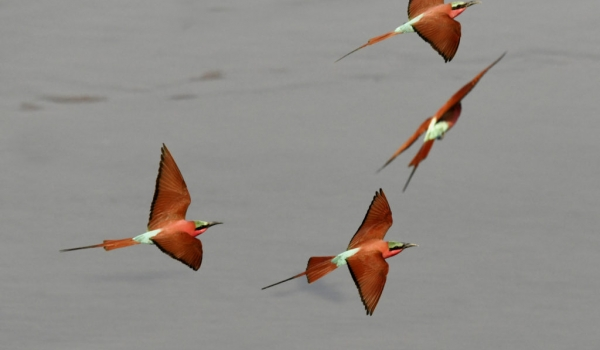Southern Carmine Bee-eaters..