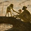 Yellow baboons at sunrise