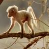 White Yellow baboon