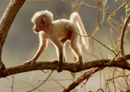 White Yellow baboon