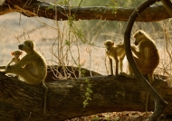 Family Yellow baboons…