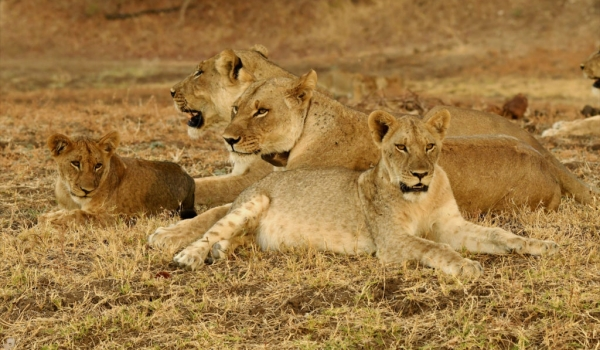 Lionesses on the lookout