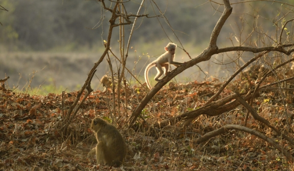but no adult Yellow baboon…