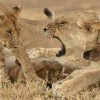 Lioness and her female cub