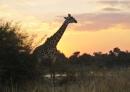 Thornicroft's Giraffe…