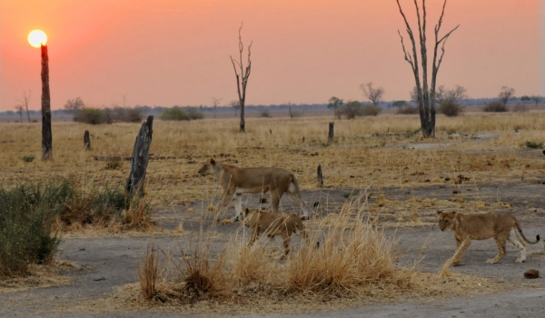 Sunset, Lions began to move