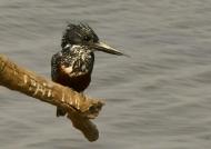 Giant Kingfisher – female