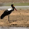 Saddle-billed Stork-m. sitting