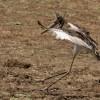 Saddle-billed Stork – juvenile