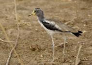 White-crowned Lapwing-baby