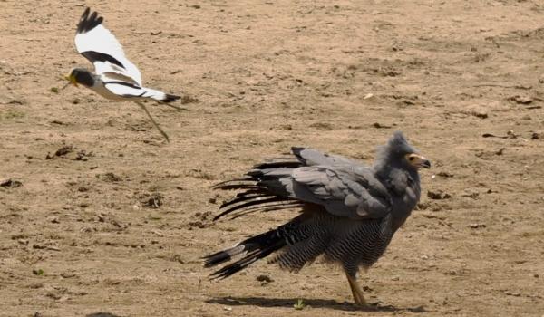an African Harrier-hawk