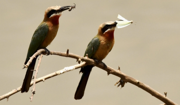 White-fronted Bee-eaters try…