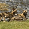 african wild dogs also called…