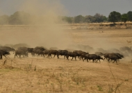 A herd of Cape Buffaloes…
