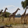 Thornicroft's Giraffes making…