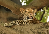 Mom Leopard is back…