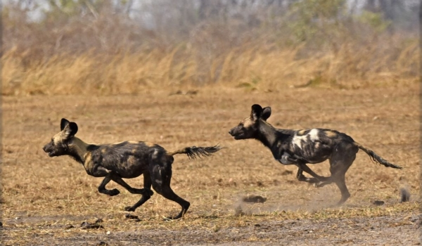 African Wild Dogs playing…