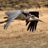 marabou stork flying to see a…