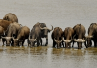 in the Luangwa River