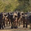 Buffaloes returning…