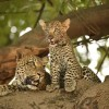 Zambia Nsefu – Female Leopards cub and adult