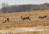 with a male Warthog…