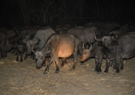 Herd moving at night