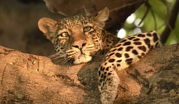 Female Leopard dreaming
