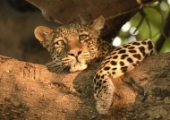 Female Leopard dreaming