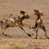 African Wild Dogs pups…
