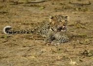 Female Leopard cub