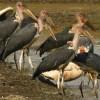 Group of Marabou Storks