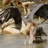 Marabou Stork caught a catfish
