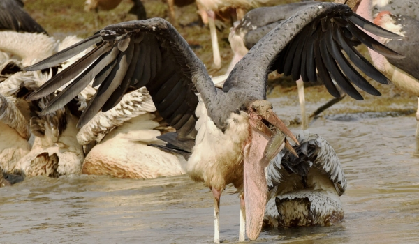Marabou Stork caught a catfish