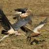 Marabou & Pelican race