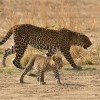 Mom with cub on the move